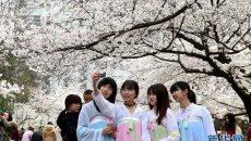 南京林业大学樱花节开幕 汉服女子团出游