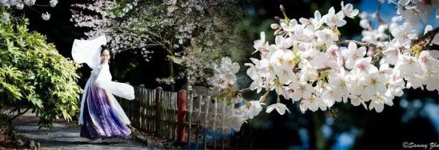 【汉服美图】与樱共舞-图片1