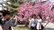 4月20日兰州桃花节开幕 将举办汉服礼仪展示等多项文化活动